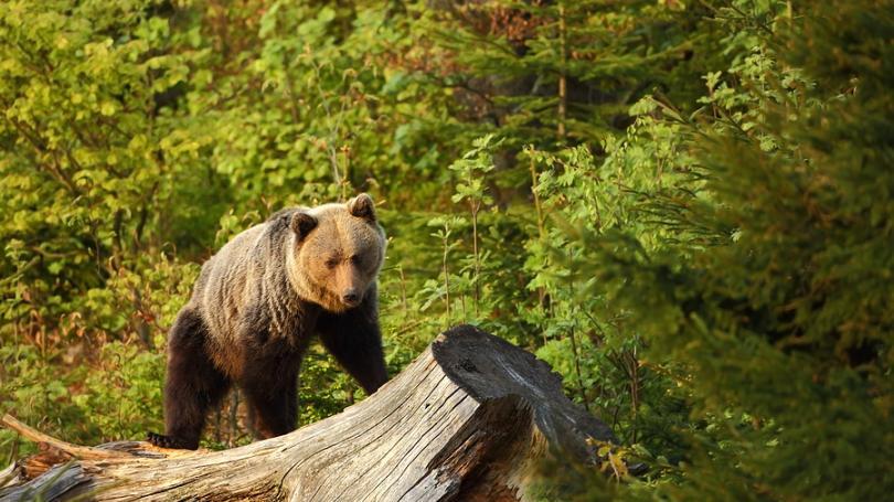 Bežci pozor! V Malých Karpatoch spozorovali opäť medvede